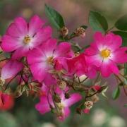 Розы Фил дес саисонс