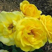 Розы Аперитив