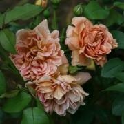 Розы Кафе