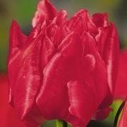 Тюльпаны Кримсония