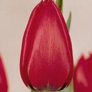 Тюльпаны Бравур