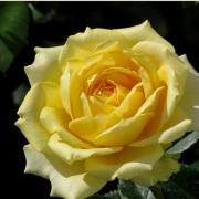 Розы Марселисборг