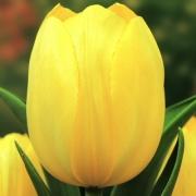 Тюльпаны Стронг Голд