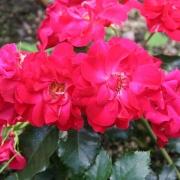 Розы Ротилиа