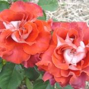 Розы Викториана
