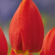 Тюльпаны Аллюр