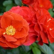 Розы Браун Вельвет