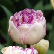 Тюльпаны Нормандия
