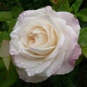 Розы Элиан Жилетт