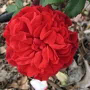 Розы Гераниум Ред