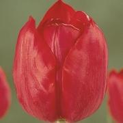 Тюльпаны Аннек