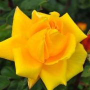 Розы Вестерн Сан