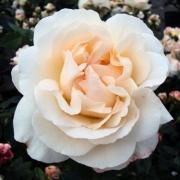 Розы Космос