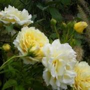 Розы Сирано де Бержерак