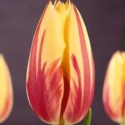 Тюльпаны Твинкл