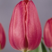 Тюльпаны Кор Боерсма
