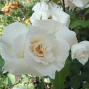 Розы Гранд Могул