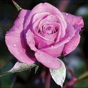 Розы Лавендер Джевел
