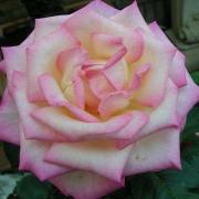 Розы Принцесс де Монако