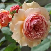 Розы Э Шропшайер Лад