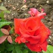 Розы Гектор Берлиоз