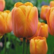 Тюльпаны Юрий Гагарин