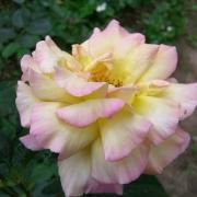 Розы Деси