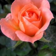 Розы Генезис