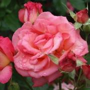 Розы Ди Велт