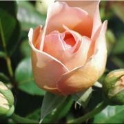 Розы Николь Миоулане