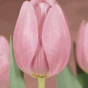 Тюльпаны Ледилайк