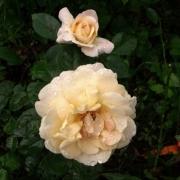 Розы Херманн-Хессе-Роуз