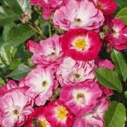 Розы Дегенхарт