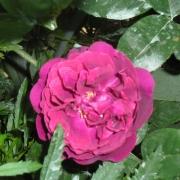 Розы Сувенир де Вильям Вуд