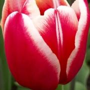Тюльпаны Лин Ван де Марк