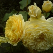 Розы Хэппи Чайлд