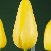 Тюльпаны Ля Маделайн