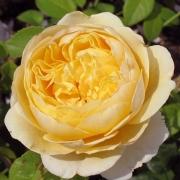 Розы Атлантис