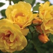 Розы Голден Гейт