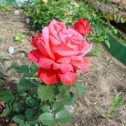 Розы Людвигсхафен-ам-Райн