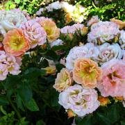 Розы Пич Дрифт
