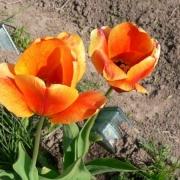Тюльпаны Акапулько