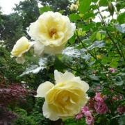 Розы Леверкузен