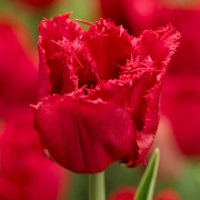 Тюльпаны Ред Винг