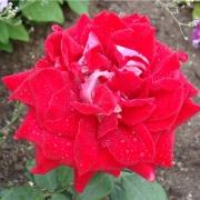 Розы Люксор