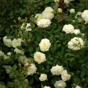 Розы Ханимилк