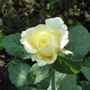 Розы Блоис