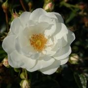 Розы Инносенсиа
