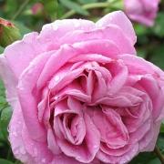 Розы Ламберт