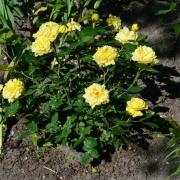 Розы Анни Дюпрей